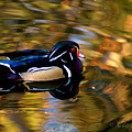 Wood Duck Print by Clayton Bruster