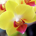 Yellow Phalaenopsis Orchids Print by Rona Black