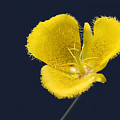 Yellow Star Tulip - Calochortus monophyllus Poster by Christine Till