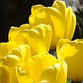 Yellow Tulips Floral art prints Nature Garden Print by Baslee Troutman