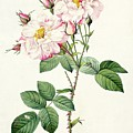York and Lancaster Rose Print by Pierre Joseph Redoute
