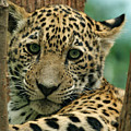Young Jaguar Poster by Sandy Keeton
